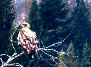 Fledgling Eagle & Mother